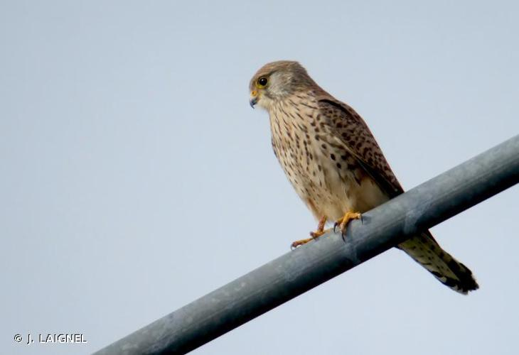 Faucon crécerelle © J. LAIGNEL